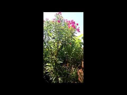 Oleandro Nerium Oleander A Planta Venenosa Muito Comum No Brasil