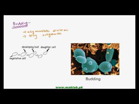 FSc Biology Book1, CH 8, LEC 4: Reproduction in Fungi