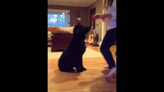 Newfoundland Puppy Training
