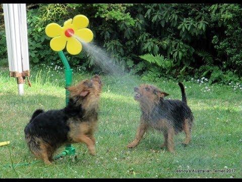 Lesnoy's Australian Terrier fighting a silly flower!