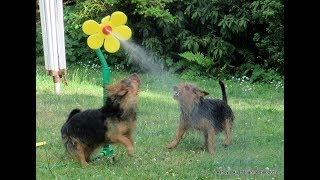 Lesnoy's Australian Terrier fighting a silly flower!