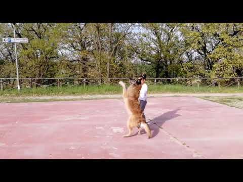 Dog training Timea and laekenois Deril & border collie Rysa