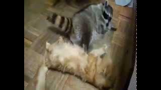 Самое прикольное видео Cat and Racoon( Кот и Енот =)