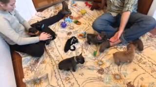 Brindle Akc French Bulldog Puppies For Sale French Bulldog Breeder In Oregon
