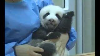 Presentan a los tres primeros pandas bebés nacidos en China en medio de la pandemia