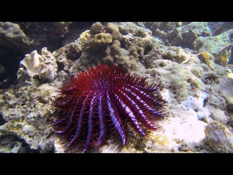 Starfish Invasion Causes Major Problems