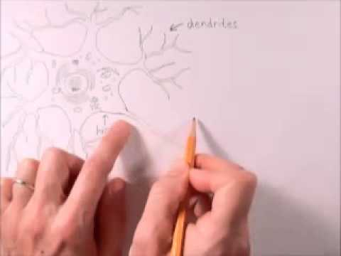 How to draw a neuron