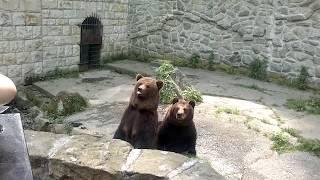 Niedźwiedź żebra o jedzenie w Chorzowskim Zoo