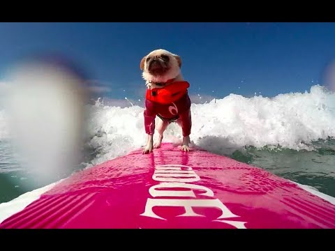 Small Surfing Dog Winner - 2017 Purina® Pro Plan® Incredible Dog Challenge® Western Regionals