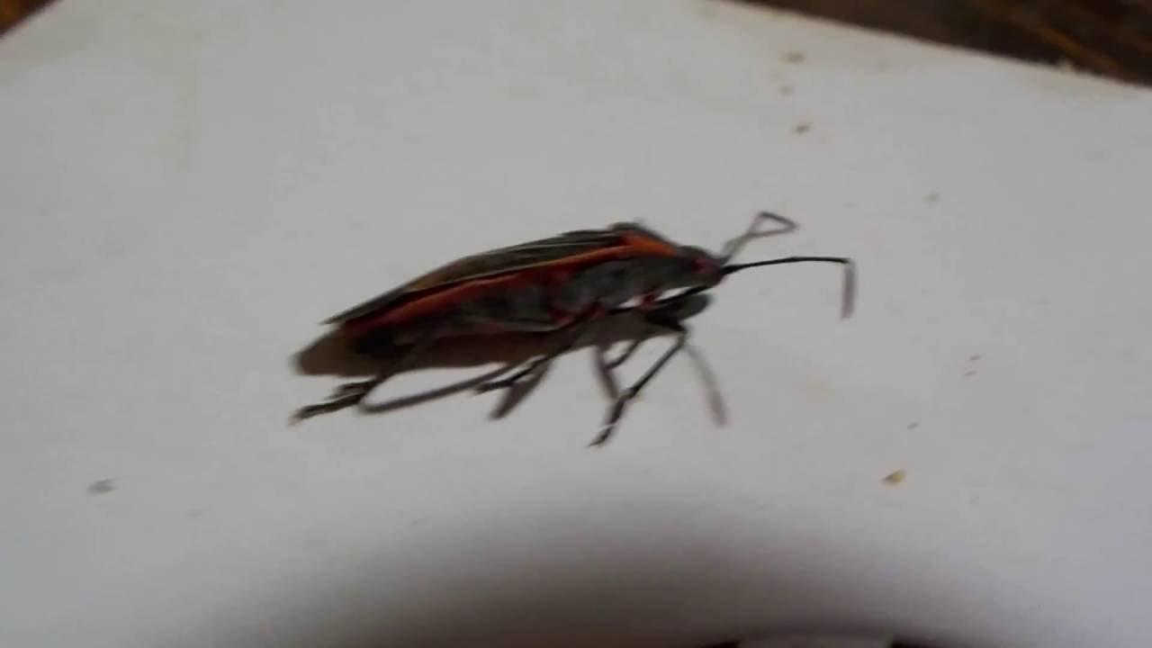 How To Kill Boxelder Bug Pests Without Pesticides Boxelder Bug