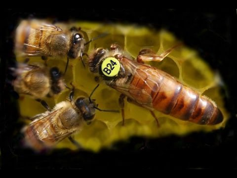 Купить пчел живых, пчелосемьи с ульями пчелопакеты пчеломаток племенных от различных производителей объявления о продаже, цены и спрос. Порода: buckfast (бакфаст) линия: b 144 (gj) репродукция: f1 год: 2018 место разведения: краснодарский край способ осеменения: естественное.