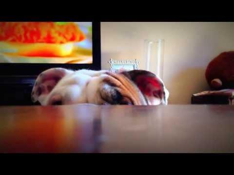 Benny playing peek a boo (English bulldog puppy) Funny