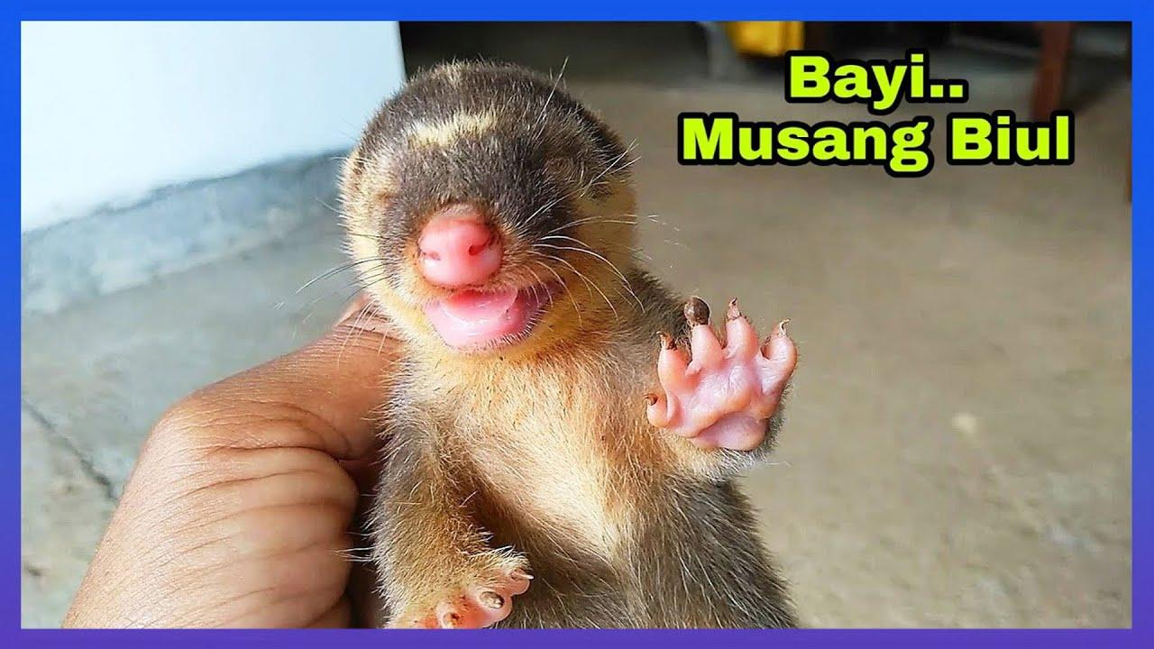 Bayi Musang Biul Nemu Di Sawah - YouTube