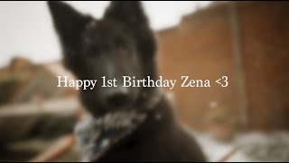 Happy 1st Birthday Zena   Belgian Shepherd Groenendael