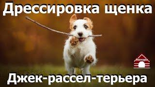Дрессировка щенка джек рассел терьера  Как научить собаку командам