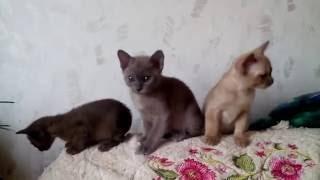Бурма. Котята разноцветные. Шоколадный, голубой и соболиный.