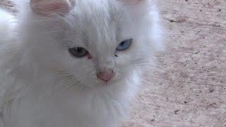 Котята с разноцветными глазами