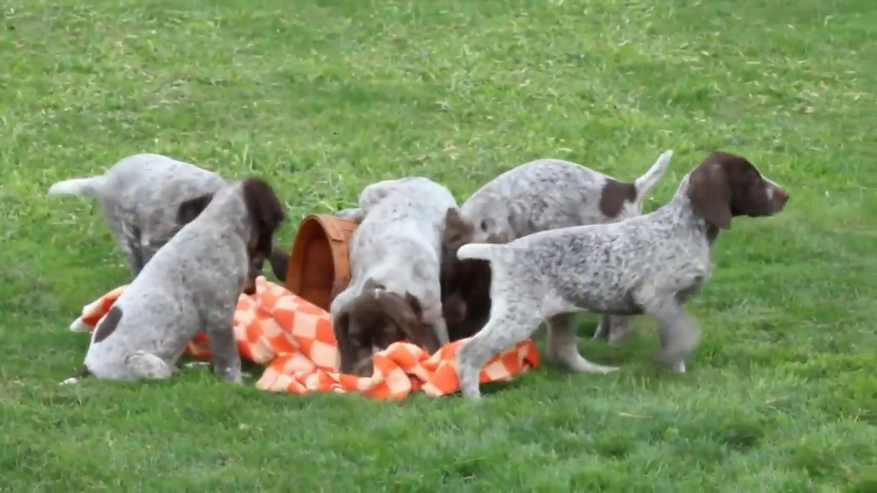 German Shorthaired Pointer Puppies For Sale David Smucker Youtube