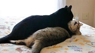 姉猫が好きすぎて凶暴化した弟猫!