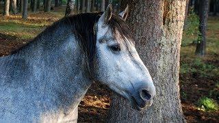Потомки тарпанов диких лесных лошадей - Тарпановидная лошадь /Дикая лошадь тарпан /Беловежская пуща