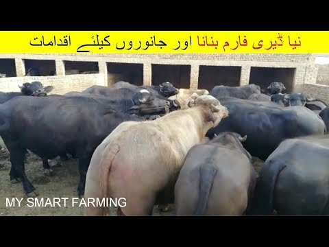35 | Dairy farming in Pakistan | نیا ڈیری فارم بنانا اور جانوروں کیلئے اقدامات