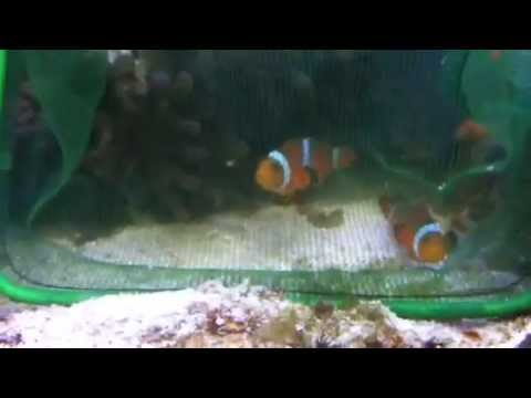 How To Get Clownfish To Host Anemone The Easy Way! (REALLY WORKS)