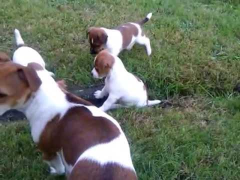 Jack russell terrier szczeniaki 7 tygodni youtube - Jack russel queue coupee ...