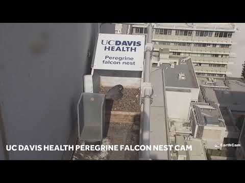 LIVE | Peregrine falcon nest cam on the roof of UC Davis Medical Center