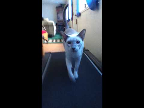 "Lilac Siamese ""Zeus"" is Treadmill Training Again"