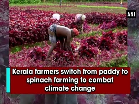 Kerala Farmers Switch From Paddy Cultivation To Spinach Farming To Combat Climate Change