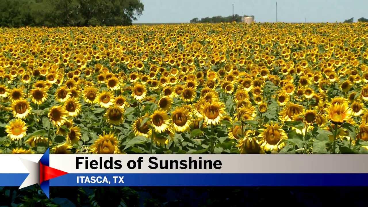 Fields Of Sunshine Texas Sunflowers Youtube