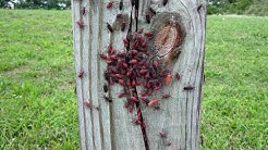 Insect Swarm: Boxelder Bugs