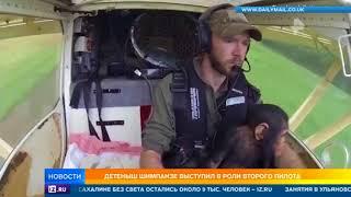 В Конго детеныш шимпанзе сам перевез себя на самолете в центр реабилитации