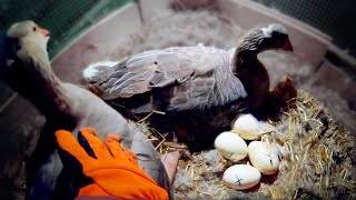 Geese Hatching Goose Eggs (Start to Finish)