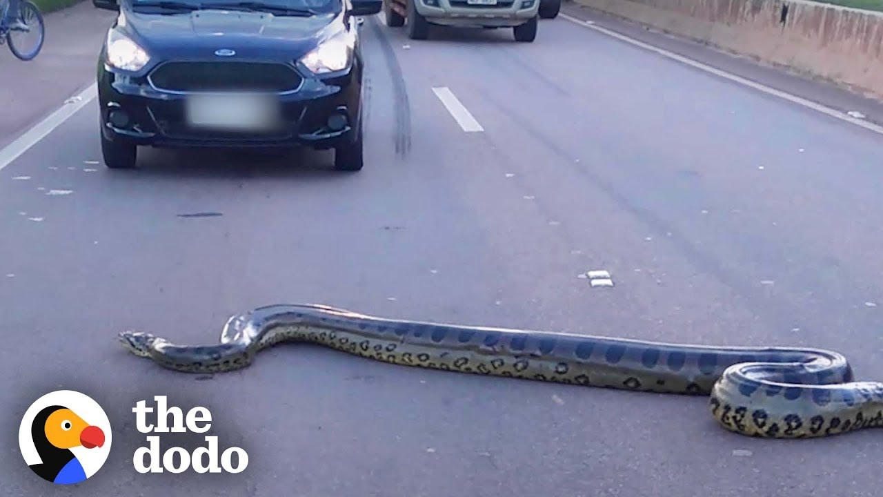 Giant Anaconda Stops Traffic In Busy Intersection | The Dodo