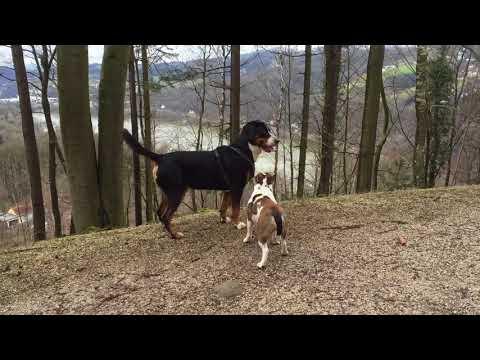 English Bulldog vs large swiss mountain dog