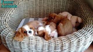 とてもかわいい - キャバリアキングチャールズスパニエルの子犬 - おか...