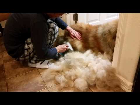 Dematting and brushing a Chow Chow dog video