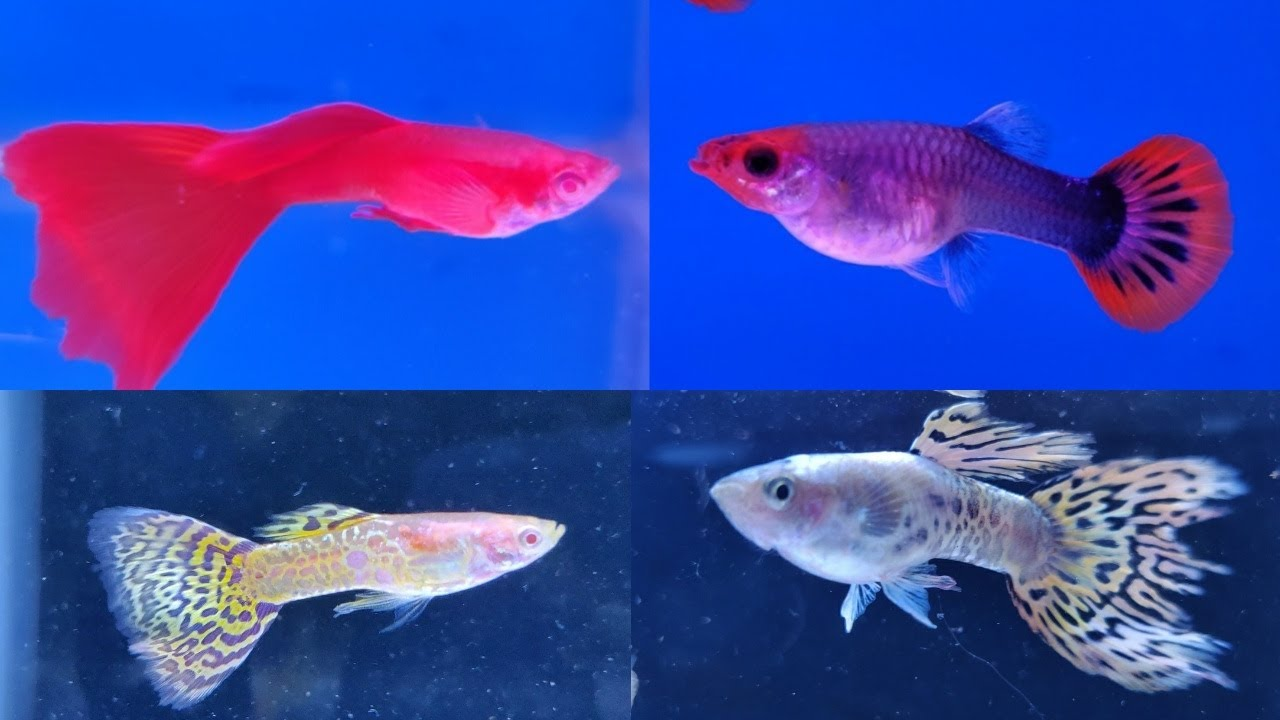 Guppy Fish Prices at Lovely Aquarium Fish Shop