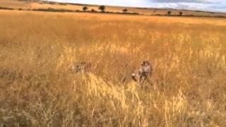 Африка. Сафари. Охота гепардов