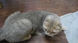 Наша кошка Дуня (скоттиш фолд) загуляла ч. 2.