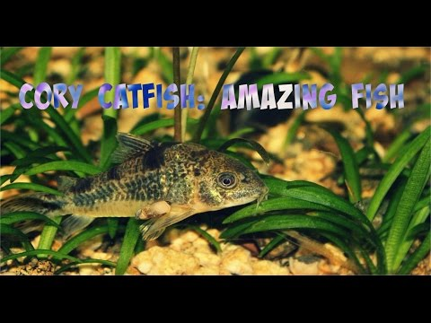 Video Cory catfish pictures