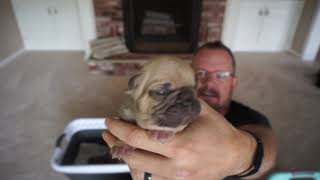 French Bulldog Puppies for sale!!!
