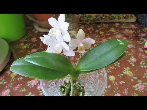 Купить орхидею. Интернет магазин орхидей. Фаленопсис