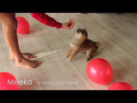 Shiba Puppy Training - Day 3