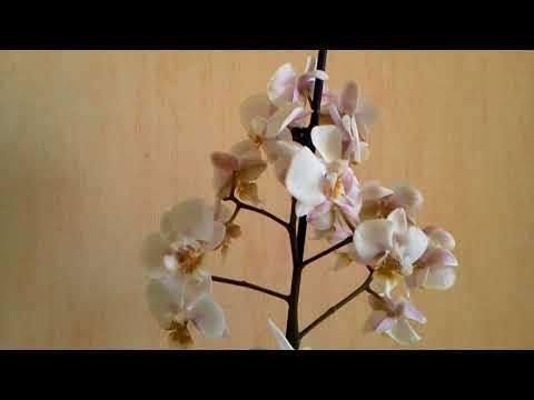 Новинка-гибрид видового фаленопсиса Стюарта. Преимущества гибрида над видовой орхидеей.