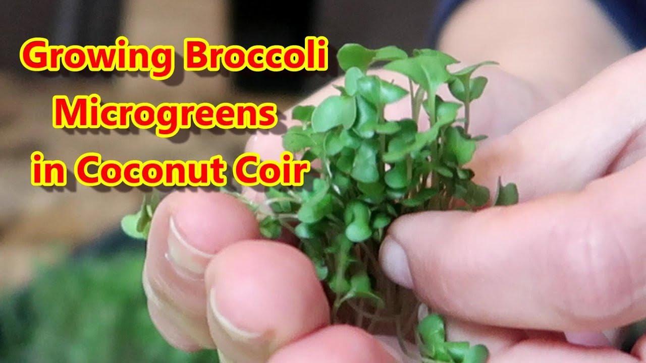 Growing Broccoli Microgreens in Coconut Coir a k a  Coco Peat