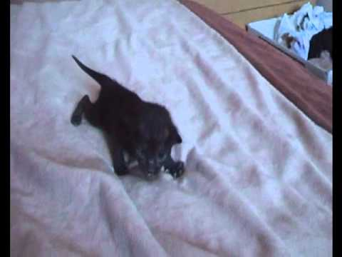 New arrivals Bengal Cross Siamese Kittens:)