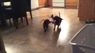 Mini Dachshund - Playing -