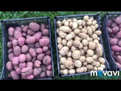 Обзор лучших сортов картофеля (Часть 2)